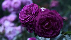 Best Photo Purple Flowers wallpaper Suggestions Purple flowers are generally regal flowers. They can be deluxe and expensive, chic along with boheme. Purple Roses Wallpaper, Hd Flower Wallpaper, Iphone Wallpaper, Most Beautiful Flowers, Pretty Flowers, Rose Violette, Blue Lotus Flower, Rose Images, Rose Cottage
