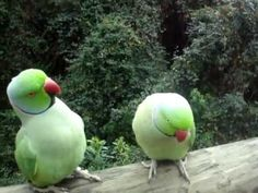 While visiting Birds of Eden in Plettenberg Bay, South Africa, these tourists stumbled upon two very talkative Parakeets...