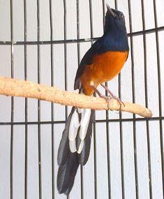 16 Jenis Burung Murai Batu Terpopuler Di Indonesia Dan Mancanegara Burungnya Com Burung Murai Batu