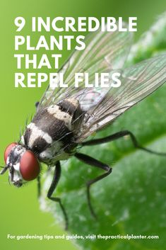9 Incredible Plants That Repel Flies (No Need for Chemicals) Flies are pests that can be a real nuisance in and around the home. With these 9 plants that repel flies, you can keep them away without using chemicals! Keep Flies Away, Get Rid Of Flies, Keep Bugs Away, Natural Fly Repellant, Plants That Repel Flies, Flies Outside, Best Perennials, Mosquito Repelling Plants, Fly Traps