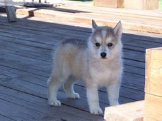 white siberian huskies puppies