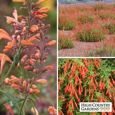 """The brilliant orange and scarlet flowers in this long-blooming perennial Hummingbird Container Garden are sure to draw hummingbirds from your entire neighborhood. The Penstemon and Agastache are the upright growers while the Zauschneria drapes over the edges of the container as a """"spiller."""" Grow this container in full sun and plant it in a large pot (16 to 20"""" diameter and 12 to 15"""" deep) to give the plants plenty of root room to thrive. The plants will bloom their first growing season and…"""