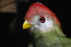 Red crested turaco | by writhedhornbill
