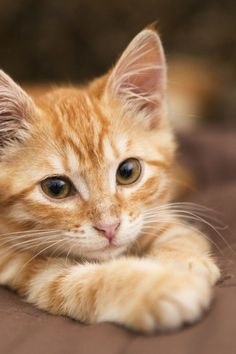 Mon chat a du mal à digérer, quels aliments privilégier ? The Effective Pictures We Offer You About tabby Cat A quality picture can tell you many things. Cute Cats And Kittens, Baby Cats, Kittens Cutest, Ragdoll Kittens, Pretty Cats, Beautiful Cats, Animals Beautiful, Cute Baby Animals, Funny Animals