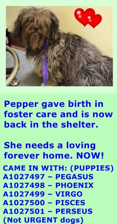 Brooklyn Center FANTINE aka PEPPER – A1026226 ***BACK AT THE SHELTER – AVAILABLE FOR ADOPTION*** FEMALE, GRAY / WHITE, YORKSHIRE TERR / MALTESE, 6 yrs STRAY – STRAY WAIT, NO HOLD Reason STRAY Intake condition NURSING Intake Date 03/21/2015 http://nycdogs.urgentpodr.org/fantine-aka-pepper-a1026226/