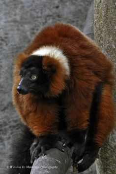 Red Ruffed Lemur   Red, Lemur, Lemurs, Animal, Animals, Madagascar, Rainforests, Masoala, Rainforest, Island, Primate, Primates, Animal Photography, Fine Art Photography, Nature Photography, Madagascar, Primates, Mammals, Lemurs, Rainforests, 54 Kg