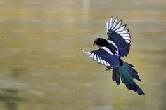 Rsultat de recherche d images pour quot; Pie Bavarde, Magpie Tattoo, Animals And Pets, Cute Animals, Jackdaw, Crows Ravens, Cute Animal Pictures, Wild Birds, Tatoo