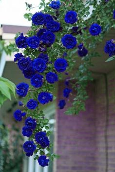 house flowers indoor 316729786293035088 - 100 Pieces Rare Black/Red/White/Variety Colors Rose Flower Seeds Source by Beautiful Flowers Garden, Exotic Flowers, Amazing Flowers, Diy Flowers, Beautiful Roses, Pretty Flowers, Colorful Roses, Spring Flowers, Balcony Flowers