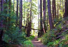 Redwood and Pygmie forests in Fort Bragg, Ca