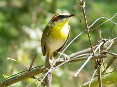 Bellas Aves de El Salvador: Basileuterus rufifrons (chipe ceja blanca, reinita)Residente