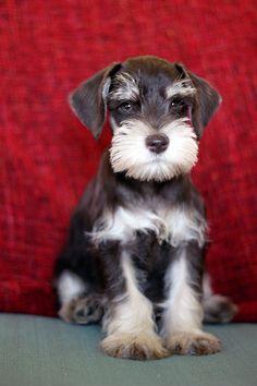 hello, I am a schnauzer puppy and I'm pretty darned cute...