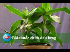 chữa bệnh đau lưng với 5 bài thuốc dân gian mà hiệu quả | TRAINHAUKHO.COM