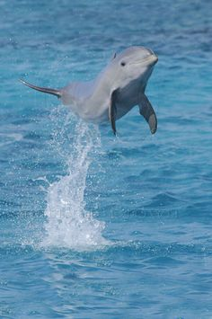 Baby Dolphins | ... Photos » Blog Archive » Jumping Baby Bottlenose Dolphin in Curacao