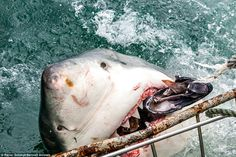 Taking the bait: A great white shark tears into a bait put out by spotters in Mossel Bay, South Africa Ocean Creatures, Weird Creatures, Orcas, The Bait, Shark Bites, Great White Shark, Shark Week, Zoo Animals, Under The Sea