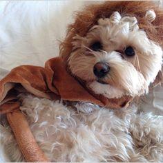 Bella Thorne's dog Kingston is a lion