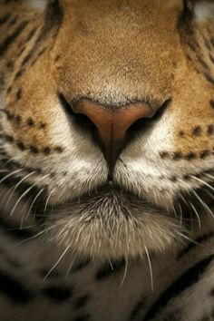 Tiger detail | Photographer unknown What beautiful lips you have jk