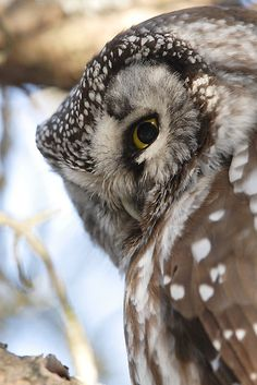 Boreal Owl close-up Beautiful Owl, Animals Beautiful, Cute Animals, Owl Photos, Owl Pictures, Owl Bird, Pet Birds, Regard Animal, Owl Eyes