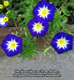 Blue morning glory flowers...