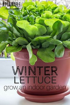 Try your hand at an indoor winter garden! You can have fresh salad greens year round by adopting the idea of growing an inside vegetable garden. #homegrown #garden #lettuce