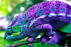 Chameleon Love! on Pinterest   Chameleons, Panthers and Baby Panther