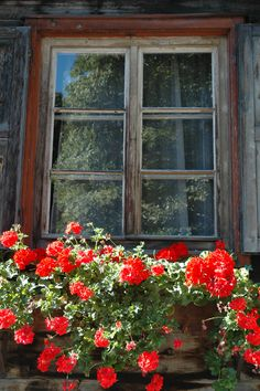 beautiful geraniums and old window