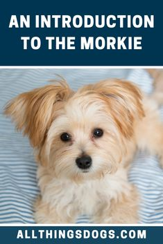 The Morkie is an adorable designer dog breed that's larger than life. Don't let their miniature size fool you, these pooches are bursting with character. Read our breed guide to learn more about them.  #morkie #malteseyorkiemix Miniature Yorkshire Terrier, Yorkshire Terrier Puppies, Terrier Mix Dogs, Pitbull Terrier, Terrier Breeds, Wheaten Terrier, Boston Terrier, Dog Breeds, Maltese