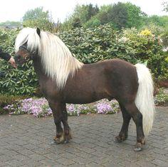 Shetland Pony stallion. Minus the stallion part this looks like my pony Blackie....yes I know he's brown. Haha