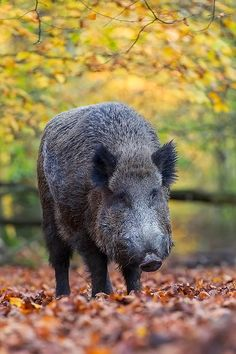 Wildschweinkeiler waehrend der Rauschzeit im Buchenwald - (Schwarzwild), Sus scrofa, Wild Boar tusker during the rut in a beech forest - (European Boar - Wild Hog)