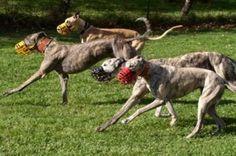 Greyhounds, Born to Run!