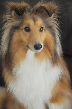 Beautiful Sheltie ... look at those ears  :)