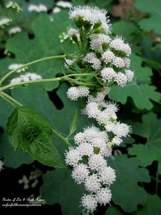 White Snakeroot (Garden of Len & Barb Rosen) Seasonal Flowers, Fresh Flowers, White Flowers, Poisonous Plants, White Gardens, Outdoor Plants, Flower Pictures, Native Plants, Science Nature