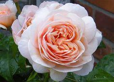 Rosa Juliet
