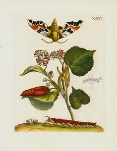 Maria Sibilla Merian Der Rupsen Begin Prints 1713 - Filia floris