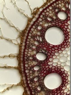 "Cross-section of a sugarcane root | Debora Leite || A dicot plant as seen through the lack of vascular bundles, or ""Monkey faces""."