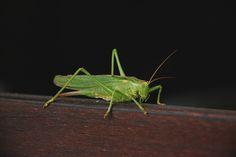 Guests in The #Garden  #Grasshopper
