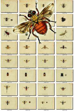 INSECTS-61 Collection of 287 vintage illustration Hoverfly Acarus, Andrena, Anthrax, Anthribus, Apis, Asilus, Attelabus, Bibio, Blaps, Cantharis, Chrysis, Chrysomela, Cistela, Claviger, Crabro, Curculio, Cynips, Dermestes, Empis, Formica, Hallomenus, Helops, Hippobosca, Hylaeus, Ichneumon, Ips, Leucospis, Lucanus, Lygaeus, Malachius, Mantis, Mellinus, Membracis, Musca, Mutilla, Mycetophagus, Myopa, Myrmeleon, Nemotelus, Nomada, Panorpa, Papilio, Pediculus