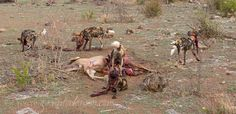 Wild dogs on a Kudu kill.  Photo Credit : Gavin Tonkinson