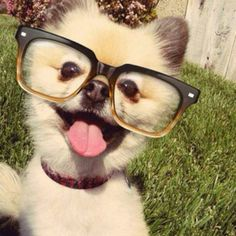 Glasses dog