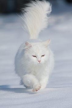 white long haired cat walking in the snow like a boss