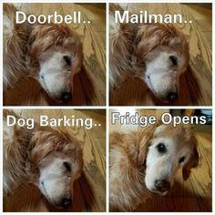 Funny Animal Pictures Of The Day 18 Pics - Funny Dog Quotes - He can hear the fridge door open from a mile away! The post Funny Animal Pictures Of The Day 18 Pics appeared first on Gag Dad. Funny Dog Memes, Funny Animal Memes, Animal Quotes, Cute Funny Animals, Dog Quotes, Funny Animal Pictures, Funny Cute, Funny Dogs, Pet Memes