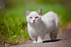 """Al crecer en una granja, Kasten estuvo particularmente inclinada a dar la bienvenida a su casa a cualquier animal. Nombró al primer Munchkin """"El Pequeño"""" debido a sus diminutas patitas. Sin embargo el gato no se documentó detalladamente por lo que se tuvo que descubrir nuevamente en 1983 cuando Sandra Hochenedal, profesora de música en Luisiana; encontró 2 gatas preñadas."""