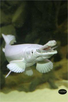 Tropical Freshwater Fish, Freshwater Aquarium, Aquarium Fish, Beautiful Sea Creatures, Animals Beautiful, Rare Albino Animals, Fishing Pictures, Deep Sea Fishing, Beautiful Fish