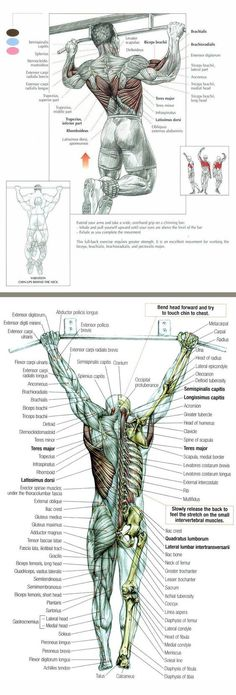 The Pullup Exercise Anatomy. I love pull ups Mens Fitness, Fitness Tips, Fitness Motivation, Health Fitness, Workout Fitness, Fitness Exercises, Weight Training, Weight Lifting, Sixpack Training