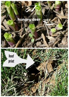 Simple Homemade Deer Repellent   Just Add Water And Spray Heavily At The  Base Of Plants And Lightly On The Leaves   Great Organic, Household Gardenu2026