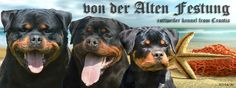 Von Der Alten Festung Rottweiler Breeders, Alter, Dogs, Animals, Animales, Animaux, Pet Dogs, Doggies, Animal