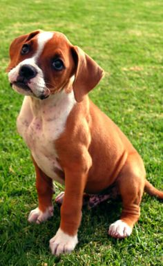 #boxer #puppy ... that sweet look is just like melting me ... just unconditional love & obedience ... the little muzzle is so cute ...