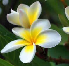 Sacuanjoche - Nicaragua national flower