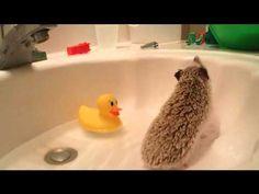 Hedgehog care: How to bathe your hedgehog - YouTube