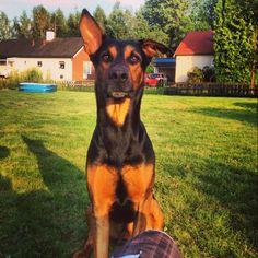 Beautiful dog Tyson