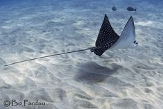 Fly-by at the King's Buoy. Stingray Tattoo, Stingray Fish, Interior Design For Beginners, Scuba Tattoo, Spotted Eagle Ray, Eagle Drawing, Fish Drawings, Manta Ray, Game Character Design